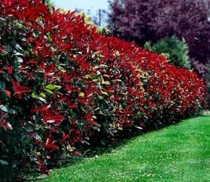 landscape maintenance of large vibrant bushes hedge and green grass