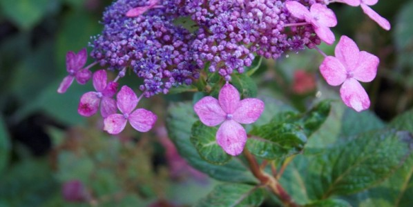 How to Transplant Hydrangeas