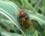 Cicada Plague is a Bust in McLean, North Arlington, Vienna and Great Falls