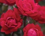 Why Does Everyone in McLean, Virginia Love Knockout Roses?