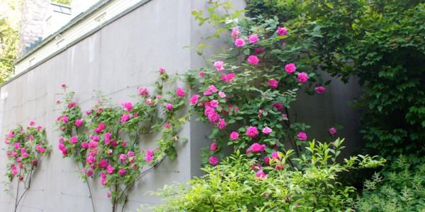 Roses growing on wall in McLean Virginia