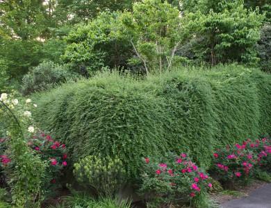 Plants falling over wall in McLean Virginia