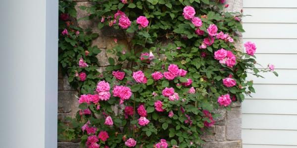 Rose growing on house in McLean Virginia